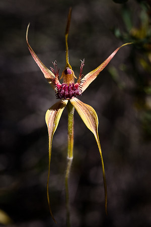 Spider Orchid - Sheila Burrow<br /> Open - Second place judge's choice