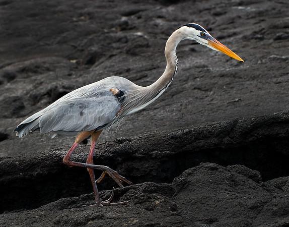 Galapagos Heron - David Sargeant