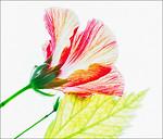 Hibiscus - Ray Ross