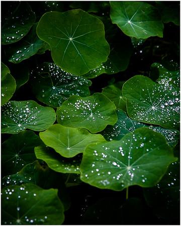 Raindrops on Nasturtiums - Richard Goodwin