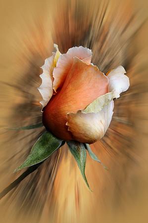 Spring Rose - Grace Munday