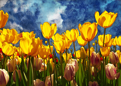 Golden Tulips - Jocelyn Manning