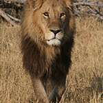 Lion, Botswana - Rodger Kohn