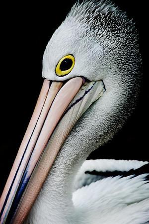 Portrait of a Pelican - Kim McAvoy