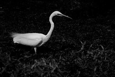 Egret - Sheila Burrow