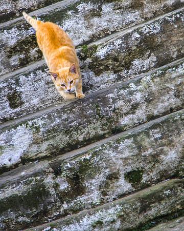 Temple Cat - Ann Jones