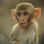 Little Monkey - Steve Crossley