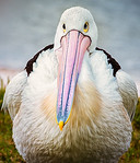 Pelican Chick - Ray Ross