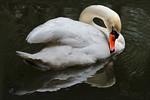 Swan - Phil Burrows