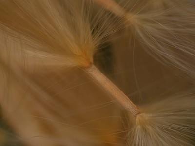 Desert Rose Seed - David White