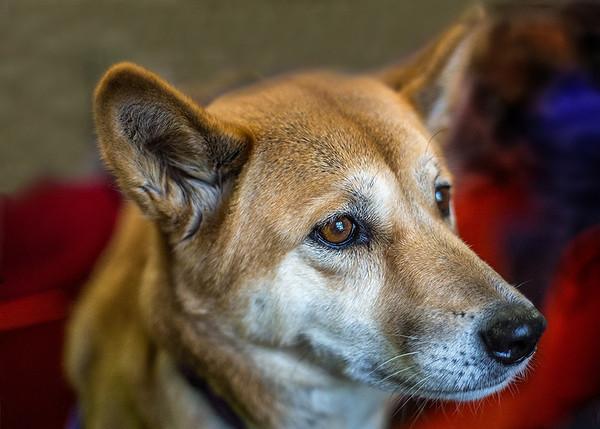 A Dingo Called Nugget - Susan Moss