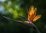 Bird of Paradise - Elaine Reynolds
