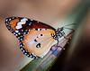 Monarch Butterfly - Stan Bendkowski