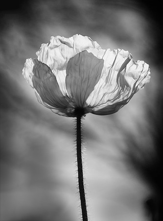 Poppy in the Sun - Kim McAvoy