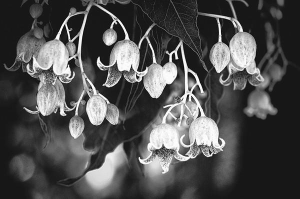 Kurrajong Flower - Ray Ross