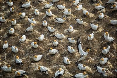 Nesting Gannets - Jocelyin Manning