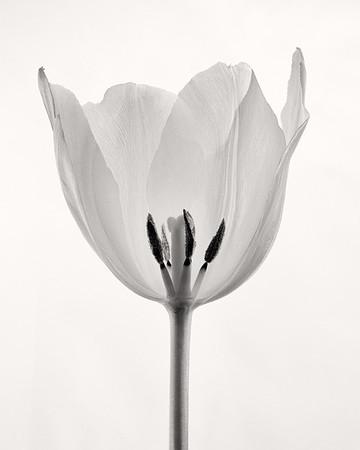 White Tulip - Robert Woodbury