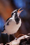 Baby Magpie-Lark - Stand Bendkowski