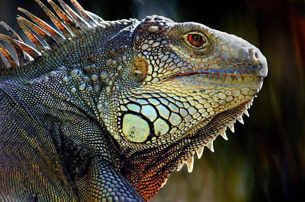 Monitor Lizard - Phil Burrows