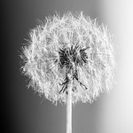 Dandelion - Robert Woodbury