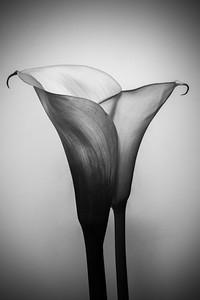 Luscious Lily - Tina Kordys