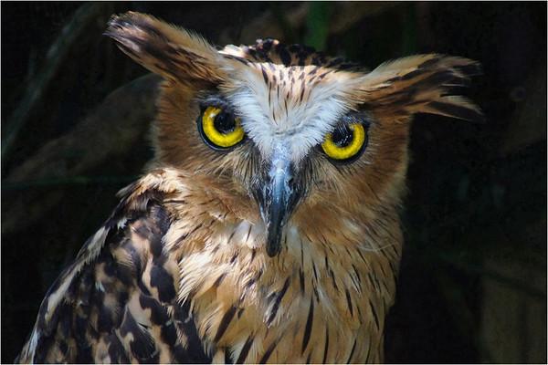 Owl - Phil Burrows