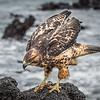 Galapagos Hawk - Martin Yates