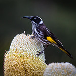 New Holland Honeyeater - Stan Bendkowski