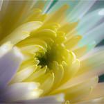 Chrysanthemum - Jocelyn Manning