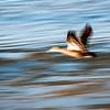 Duck in Flight - Mike Oborn