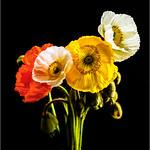 Poppies - Jocelyn Manning