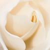 Soft Rose - Elaine Reynolds