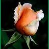 Rose Bud - Grace Munday