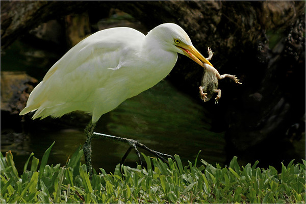 Bird, Eating Frog - Phil Burrows