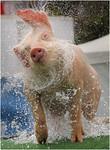 One Clean Pig - Hans Wellinger