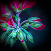 Geranium Buds - Jocelyn Manning
