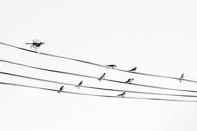 Birds on a Wire - Richard Goodwin