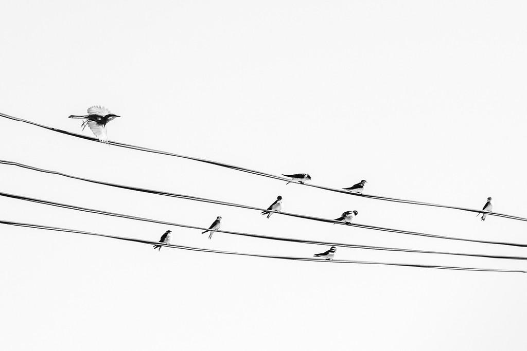 Birds on a Wire - Richard Goodwin