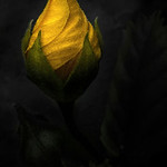 Yellow Bud - Lemuel Tan