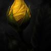 Yellow Bud - Lemuel Tan