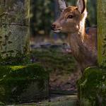 Deer - Michele Augustyn