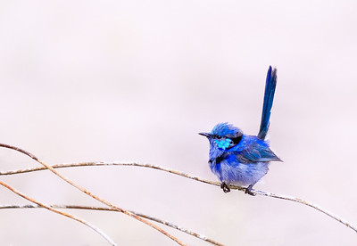 Fairy Wren - Ray Ross