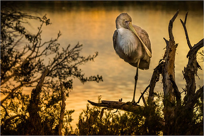 Spoonbill at Dusk - Richard Goodwin