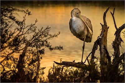 Spoonbill at Dusk - Richard Goodwin