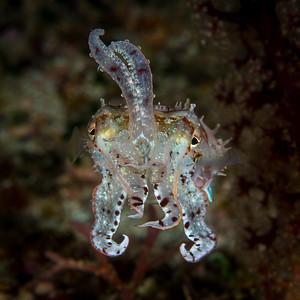Dwarf Cuttlefish - Amanda Blanksby