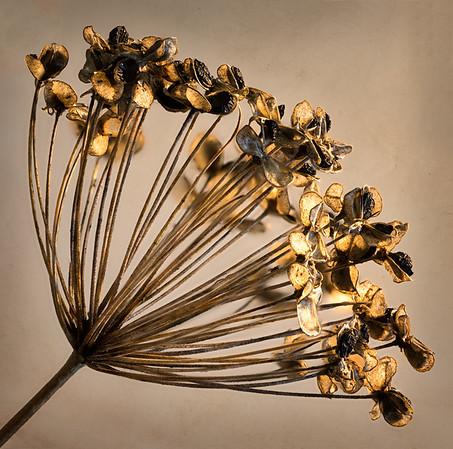 Fennel Seed Pods - Jocelyn Manning