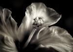 Hibiscus - Jocelyn Manning