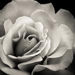 Blooming Rose - Lemuel Tan