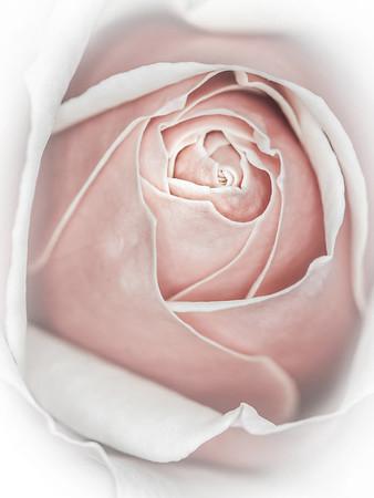 Rose - Lemuel Tan