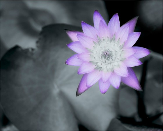 Soft Water Lily - Greg Bilton